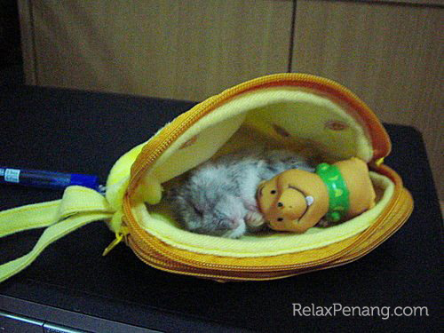 Hamster in Purse - Relax Penang