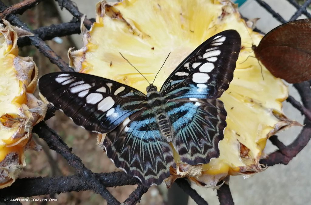 Explore Entopia Penang: Butterflies Are Self Propelled Flowers
