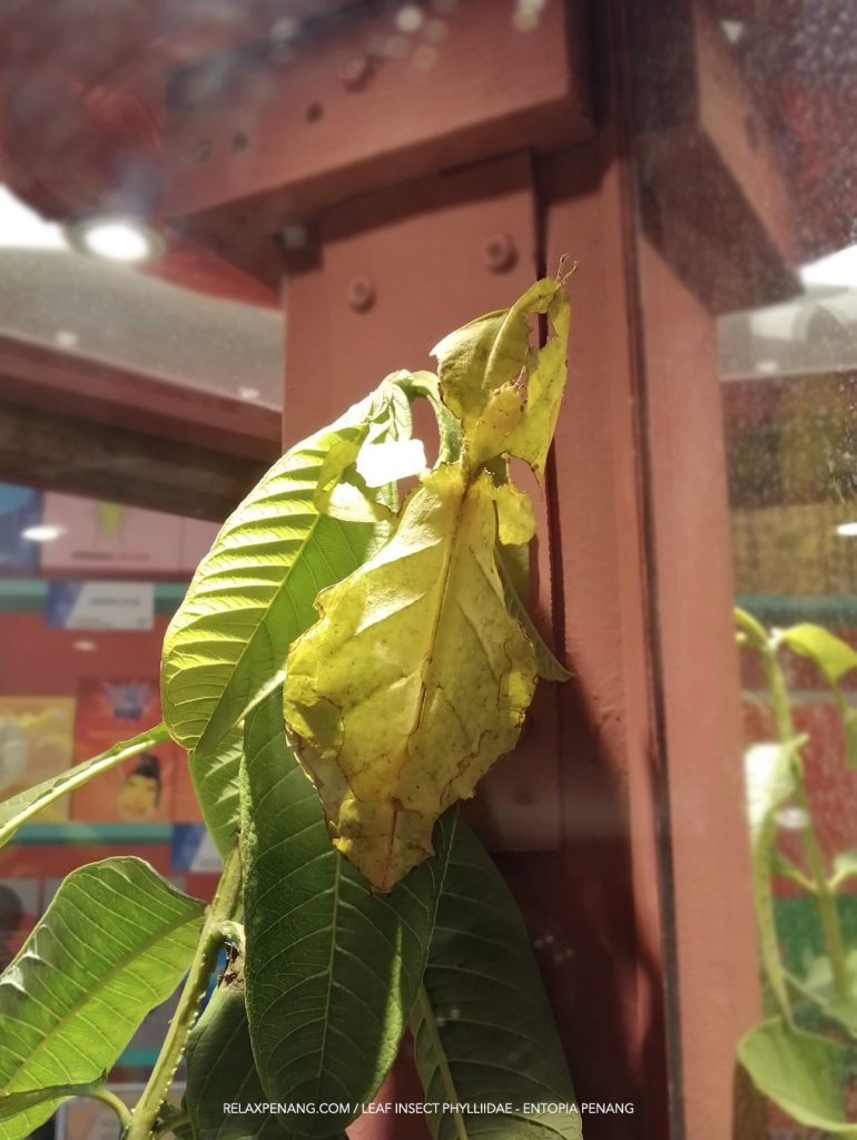 Green Leaf Insect Phylliidae