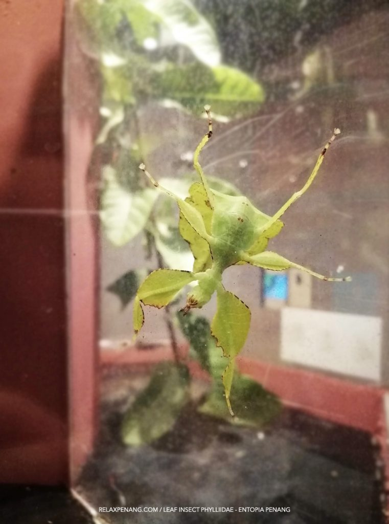 Green Leaf Insect Phylliidae Entopia Penang Butterfly Farm
