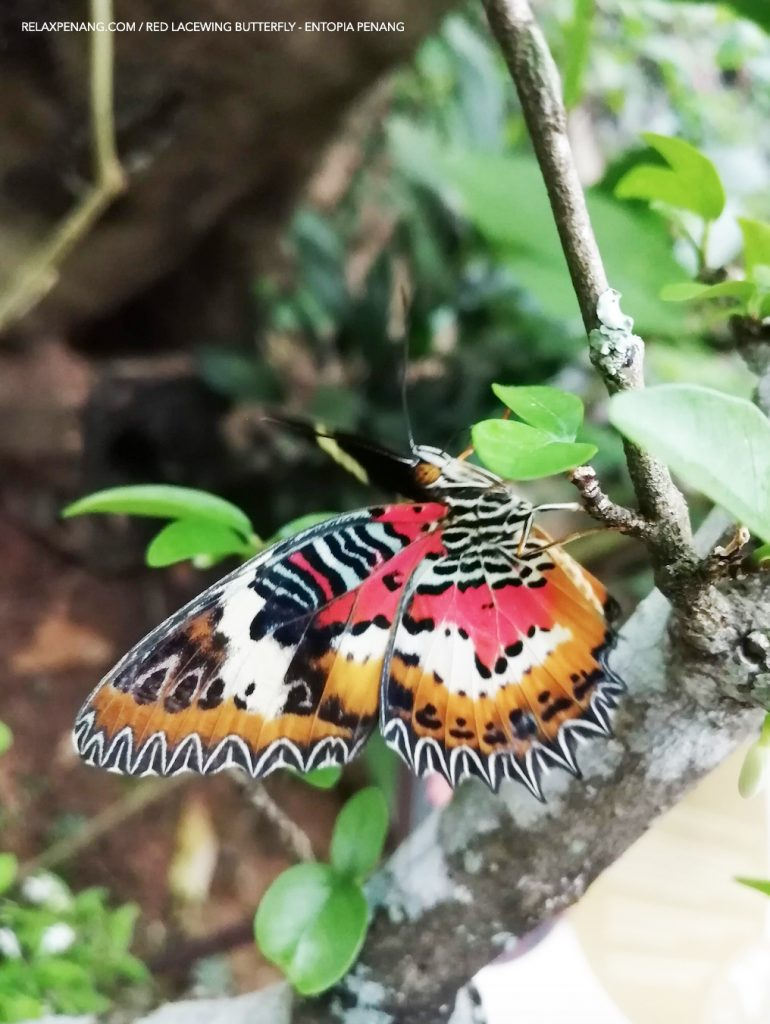 Red Lacewing Butterfly Entopia Penang Butterfly Farm