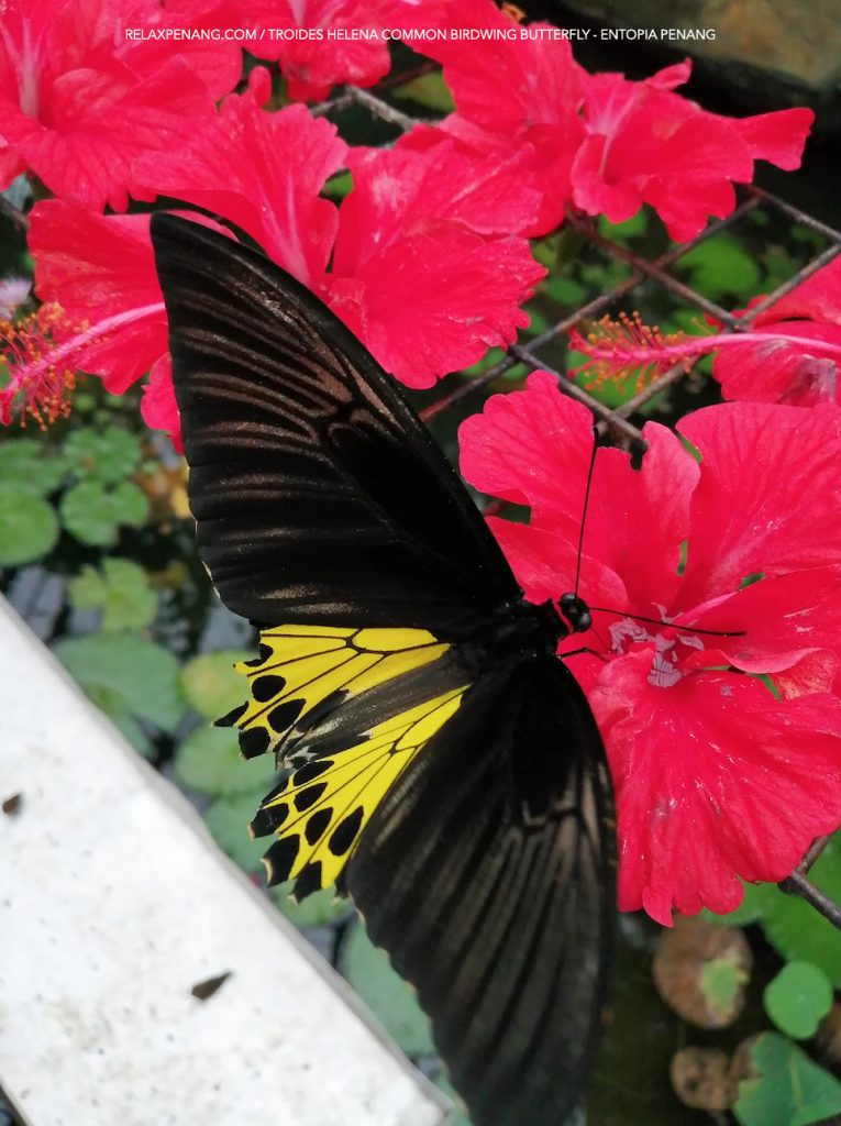 Troides Helena Common Birdwing Tropical Butterfly Entopia Penang